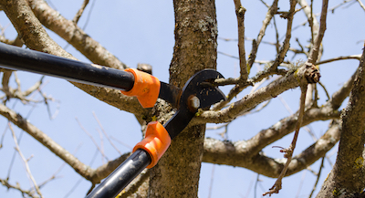 Elizabeth tree pruning